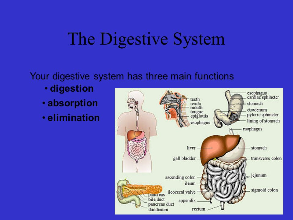 Your digestive system has three main functions The Digestive System digestion absorption elimination