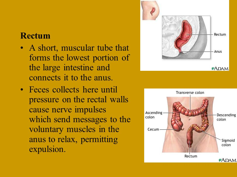 Rectum A short, muscular tube that forms the lowest portion of the large intestine and connects it to the anus. Feces collects here until pressure on