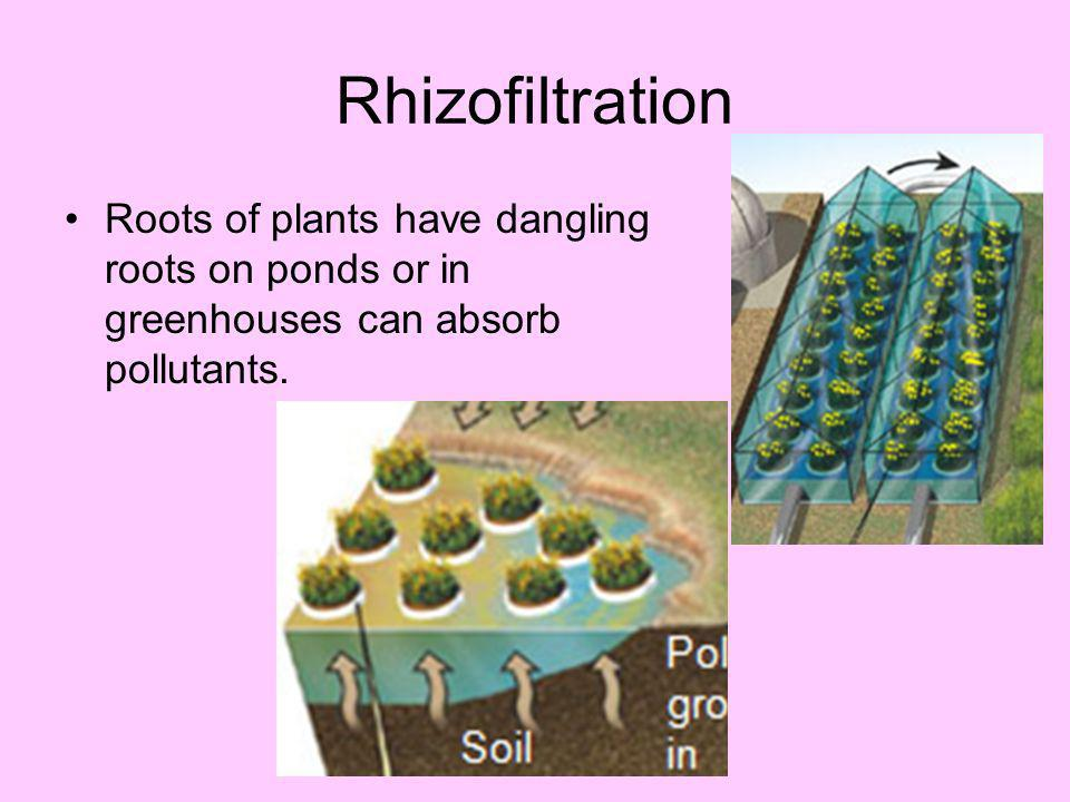 A plant can do that? Sunflowers: can absorb radioactive materials (Strontium-90, Cesium- 137) and other organic chemicals. Done through hydroponic gro