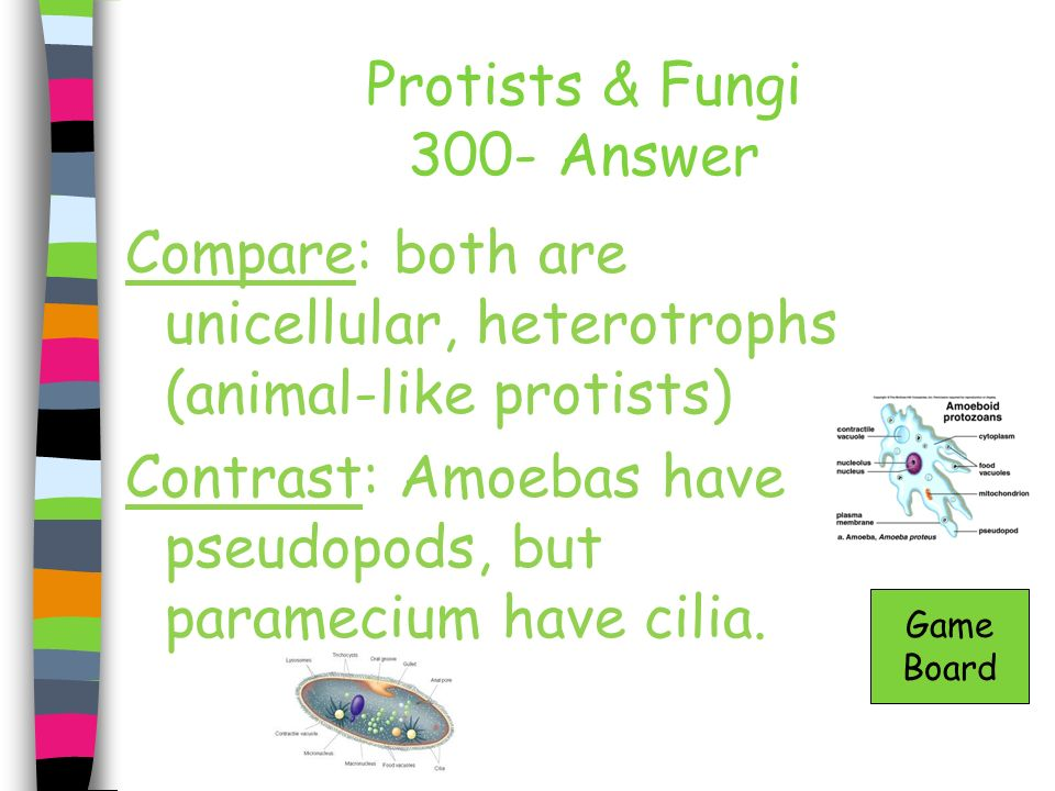 Protists & Fungi 300- Answer Compare: both are unicellular, heterotrophs (animal-like protists) Contrast: Amoebas have pseudopods, but paramecium have