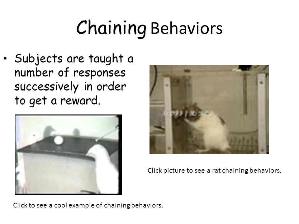 Chaining Behaviors Subjects are taught a number of responses successively in order to get a reward. Click picture to see a rat chaining behaviors. Cli