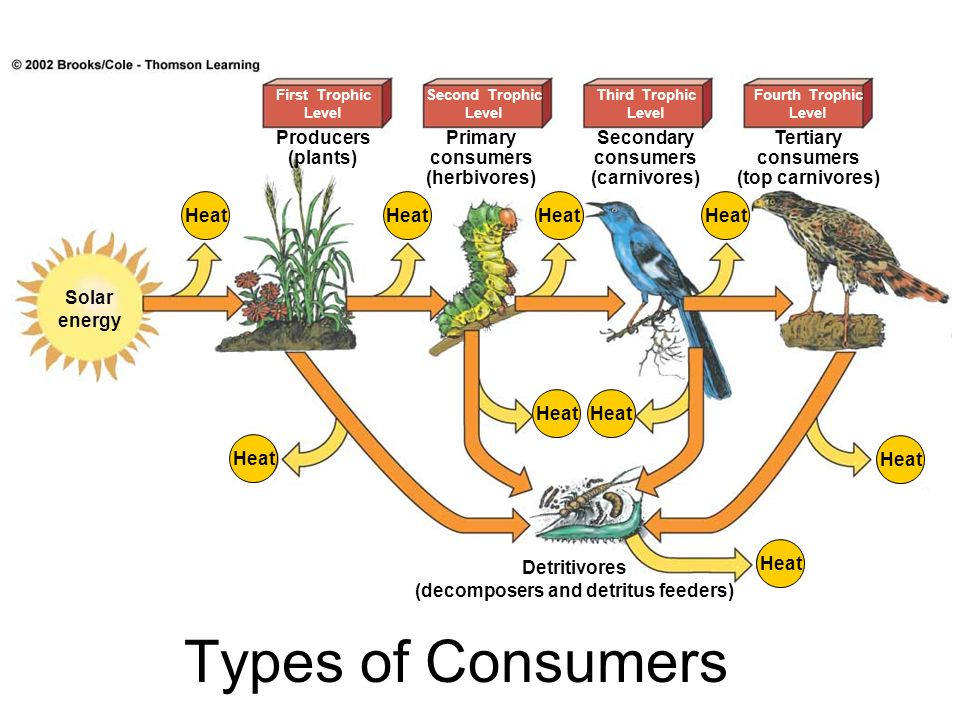 Heat First Trophic Level Second Trophic Level Third Trophic Level Fourth Trophic Level Solar energy Producers (plants) Primary consumers (herbivores)