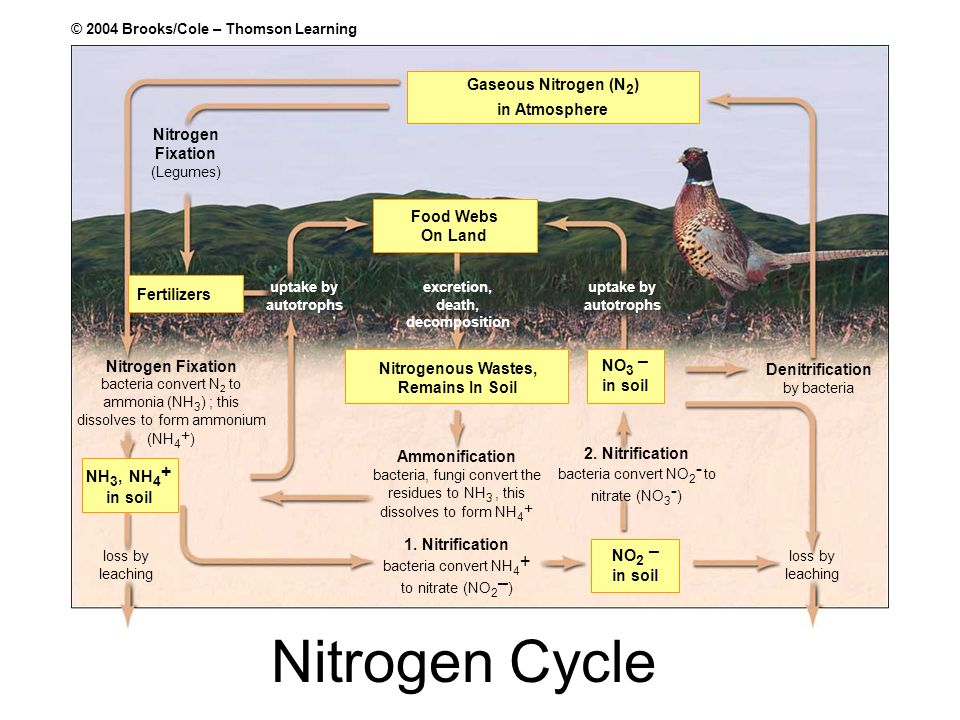 NO 3 – in soil Nitrogen Fixation (Legumes) Fertilizers Food Webs On Land NH 3, NH 4 + in soil 1. Nitrification bacteria convert NH 4 + to nitrate (NO