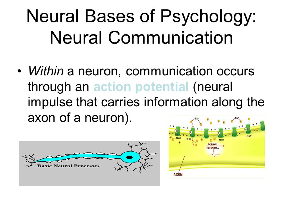 Neural Bases of Psychology: Neural Communication Within a neuron, communication occurs through an action potential (neural impulse that carries information along the axon of a neuron).