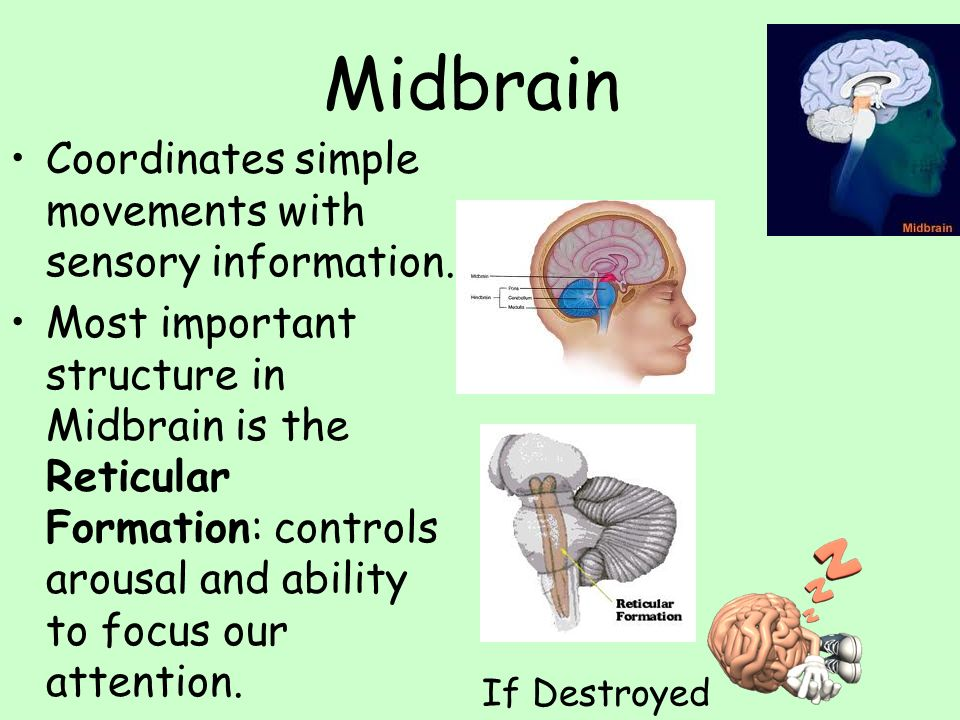 Midbrain Coordinates simple movements with sensory information. Most important structure in Midbrain is the Reticular Formation: controls arousal and