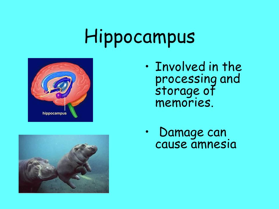 Hippocampus Involved in the processing and storage of memories. Damage can cause amnesia