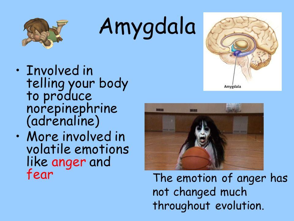 Amygdala Involved in telling your body to produce norepinephrine (adrenaline) More involved in volatile emotions like anger and fear The emotion of an