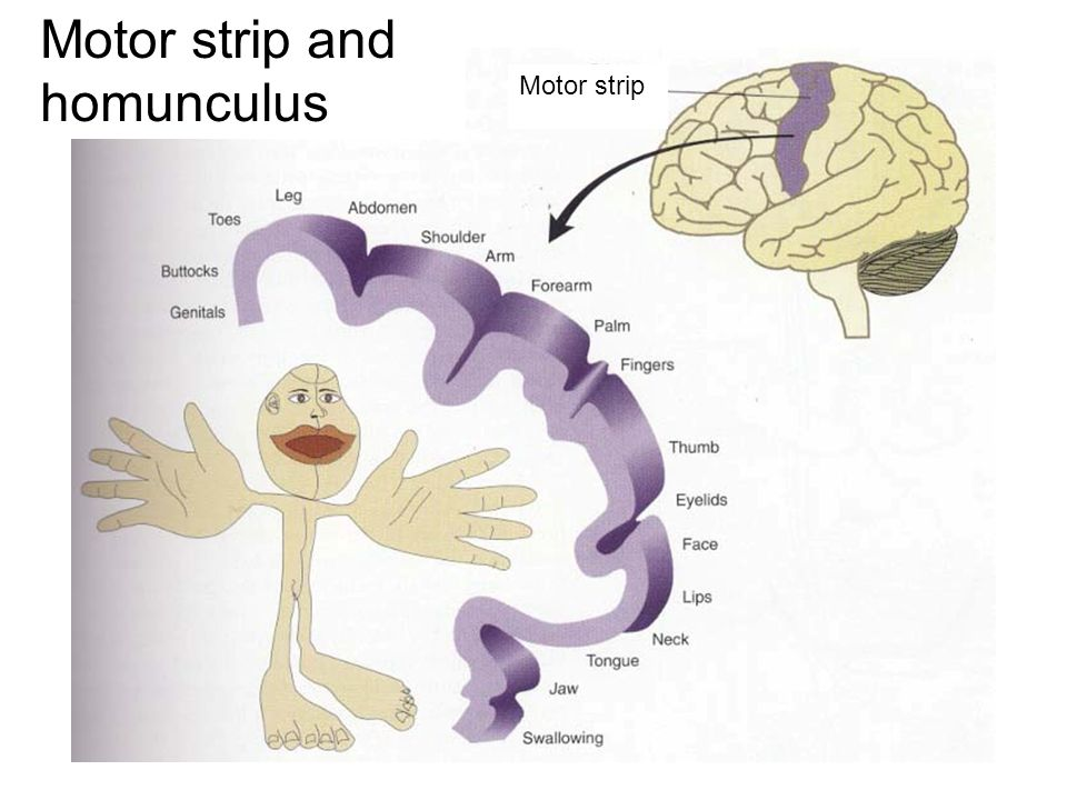 Motor strip and homunculus Motor strip