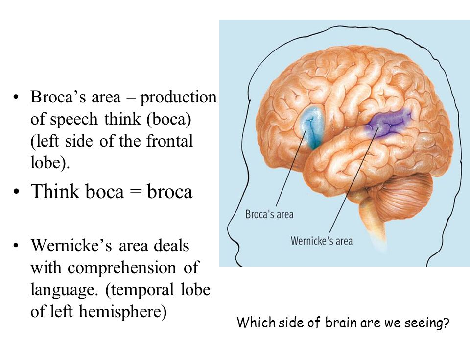 Brocas area – production of speech think (boca) (left side of the frontal lobe). Think boca = broca Wernickes area deals with comprehension of languag