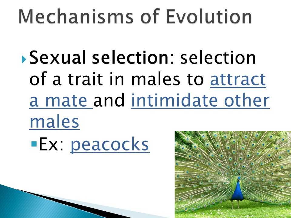 Sexual selection: selection of a trait in males to attract a mate and intimidate other males Ex: peacocks