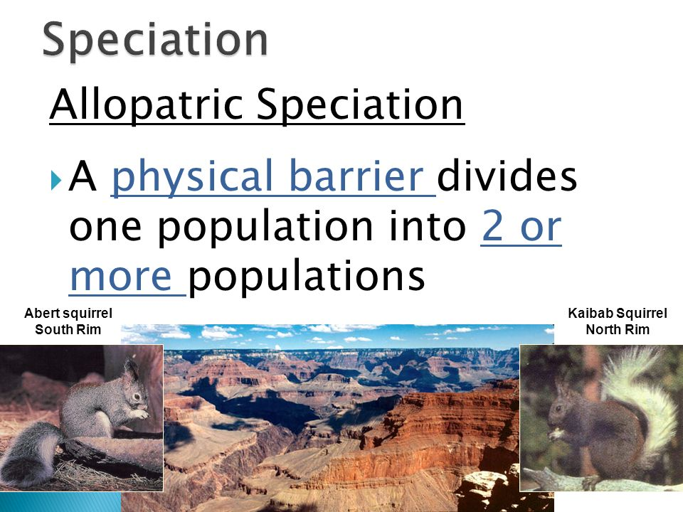 Allopatric Speciation A physical barrier divides one population into 2 or more populations Abert squirrel South Rim Kaibab Squirrel North Rim