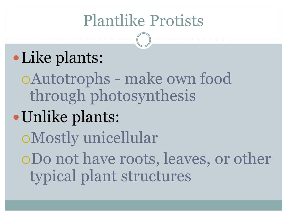 Plantlike Protists Like plants: Autotrophs - make own food through photosynthesis Unlike plants: Mostly unicellular Do not have roots, leaves, or othe