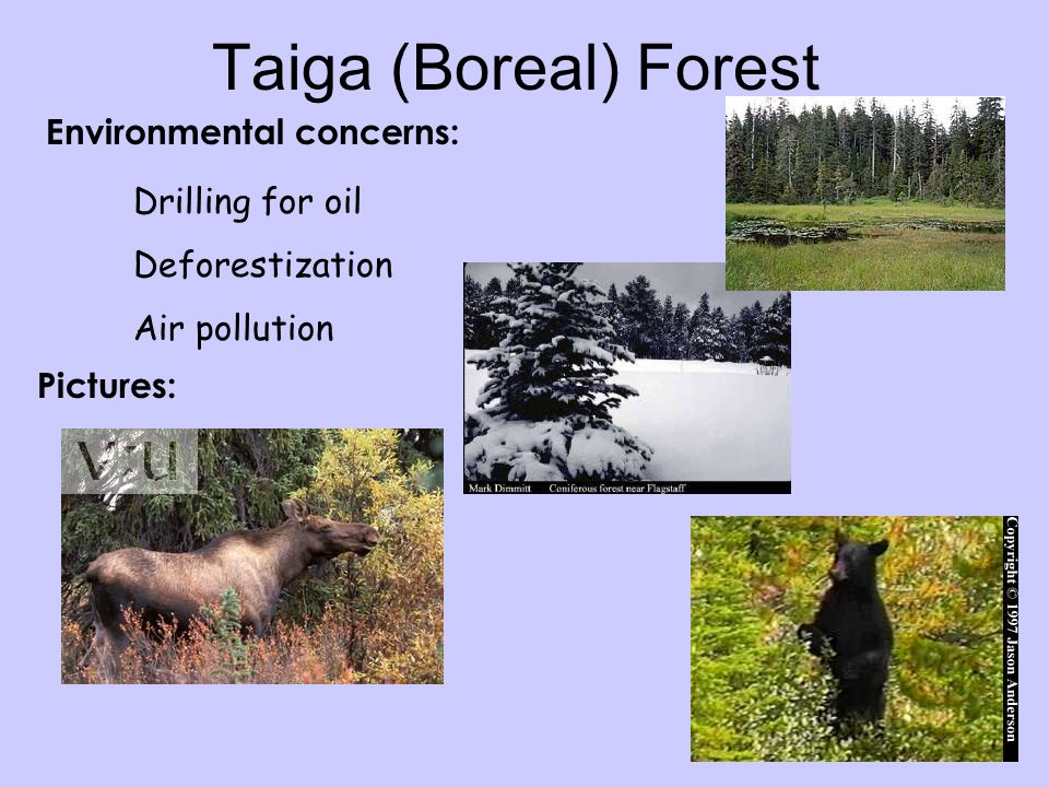 Environmental concerns: Taiga (Boreal) Forest Drilling for oil Deforestization Air pollution Pictures: