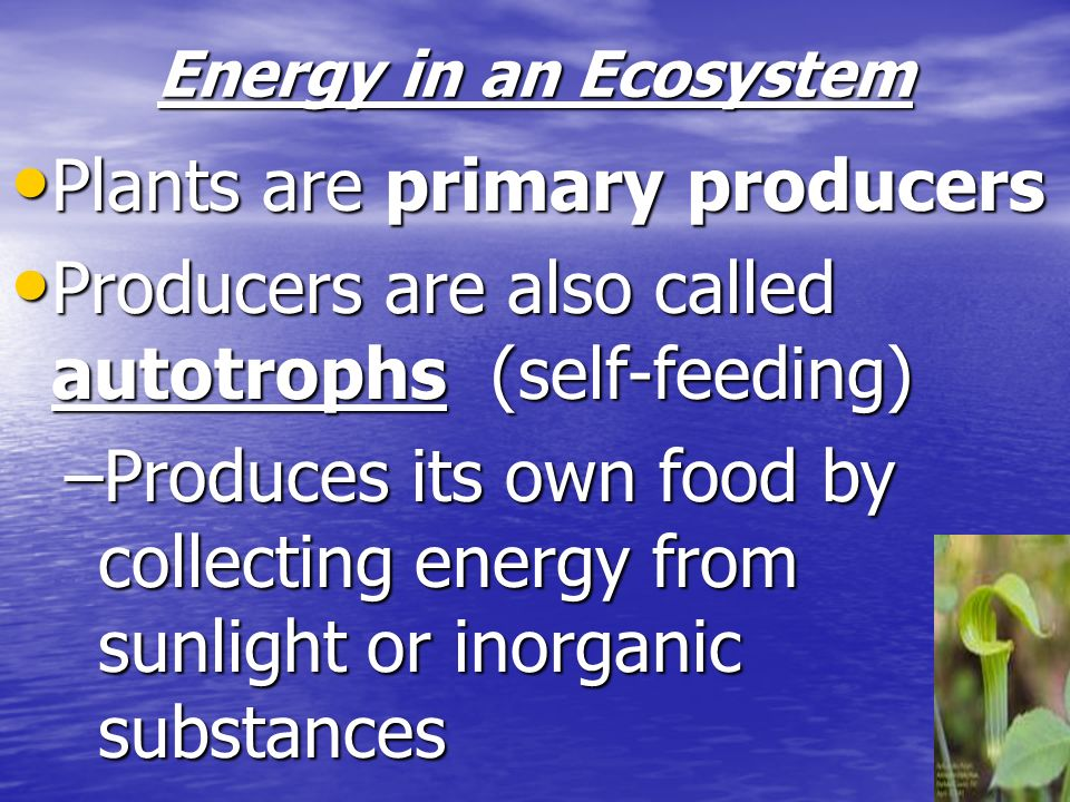 Energy in an Ecosystem Plants are primary producers Plants are primary producers Producers are also called autotrophs (self-feeding) Producers are als
