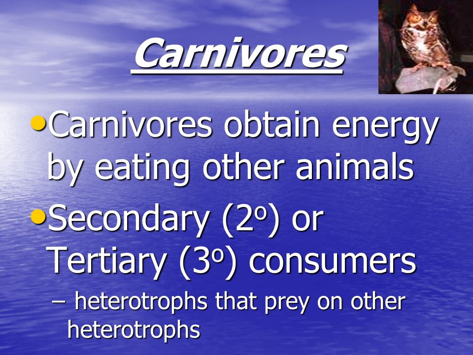 Carnivores Carnivores obtain energy by eating other animals Carnivores obtain energy by eating other animals Secondary (2 o ) or Tertiary (3 o ) consu