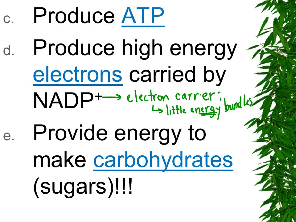 c. Produce ATP d. Produce high energy electrons carried by NADP + e. Provide energy to make carbohydrates (sugars)!!!