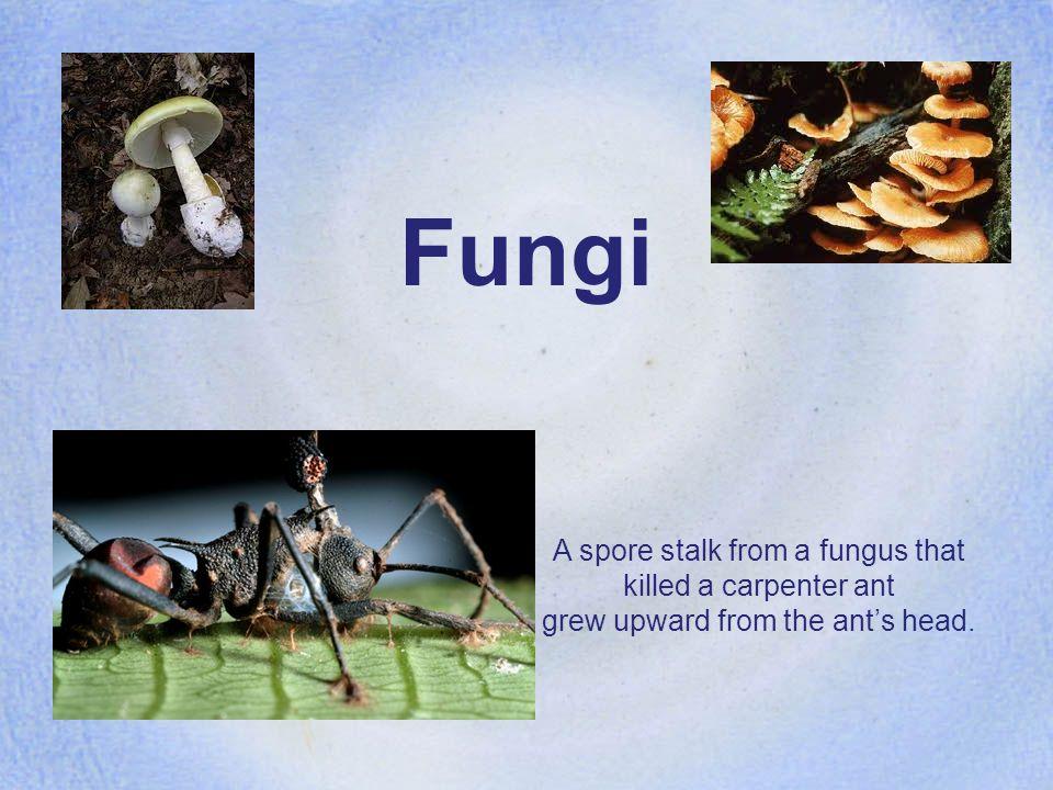All Fungi are…. eukaryotic heterotrophs What does eukaryotic mean? What is a heterotroph?