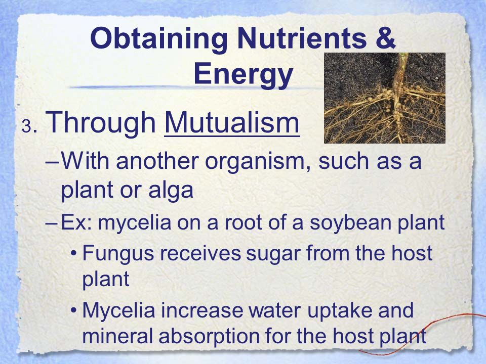 Obtaining Nutrients & Energy 3. Through Mutualism –With another organism, such as a plant or alga –Ex: mycelia on a root of a soybean plant Fungus rec