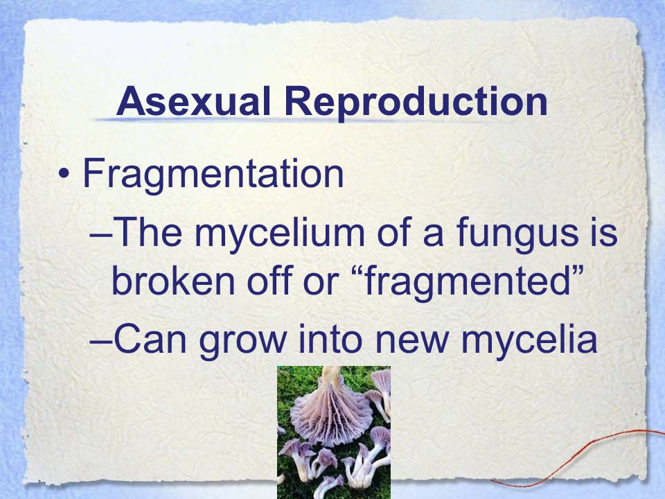 Asexual Reproduction Fragmentation –The mycelium of a fungus is broken off or fragmented –Can grow into new mycelia