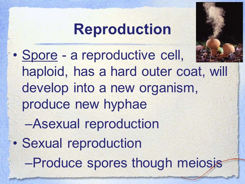 Reproduction Spore - a reproductive cell, haploid, has a hard outer coat, will develop into a new organism, produce new hyphae –Asexual reproduction S