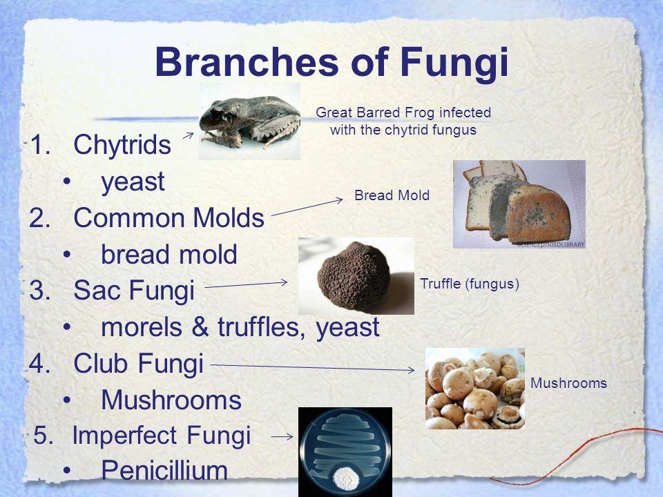 Branches of Fungi 1.Chytrids yeast 2.Common Molds bread mold 3.Sac Fungi morels & truffles, yeast 4.Club Fungi Mushrooms 5.Imperfect Fungi Penicillium