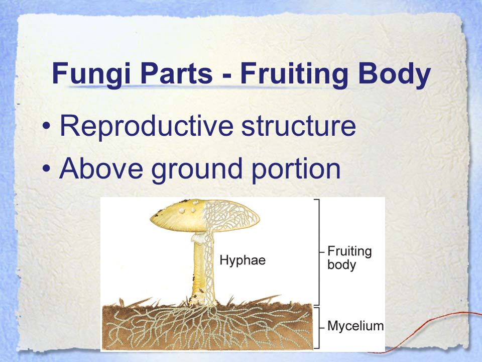 Fungi Parts - Fruiting Body Reproductive structure Above ground portion