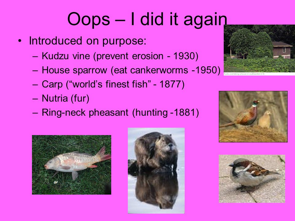 Oops – I did it again Introduced on purpose: –Kudzu vine (prevent erosion - 1930) –House sparrow (eat cankerworms -1950) –Carp (worlds finest fish - 1
