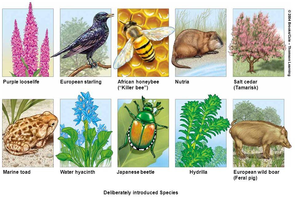 Figure 12-9a Page 235 Purple looselifeEuropean starlingAfrican honeybee (Killer bee) NutriaSalt cedar (Tamarisk) Marine toadWater hyacinthJapanese bee