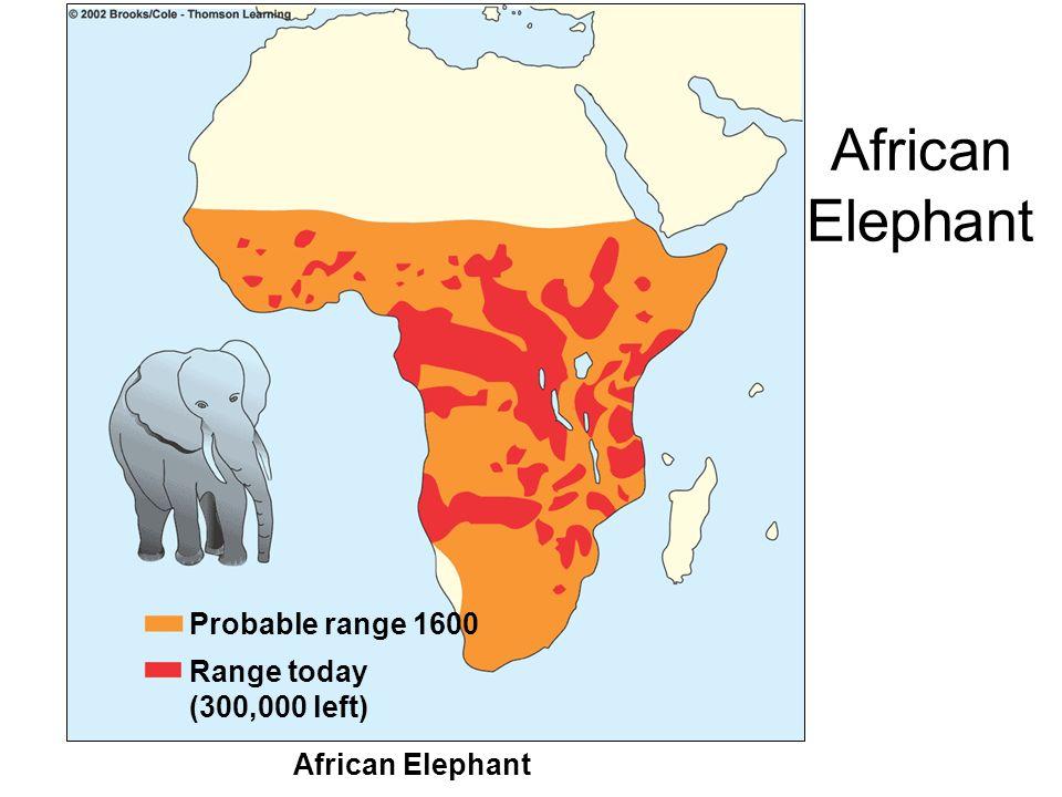 African Elephant Probable range 1600 Range today (300,000 left) African Elephant