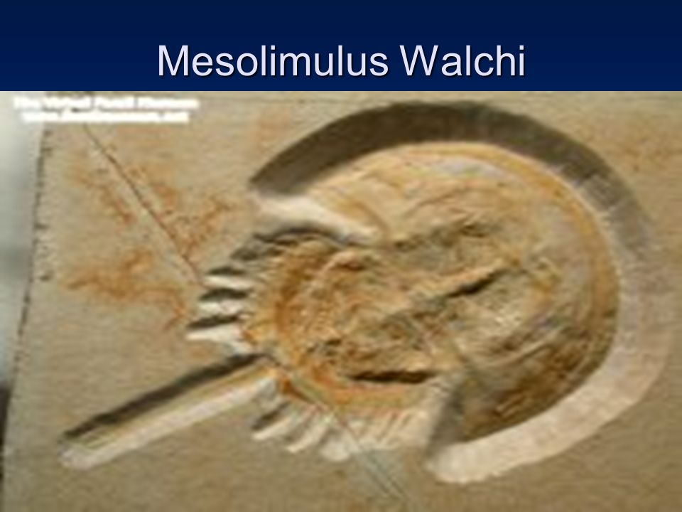 Mesolimulus Walchi