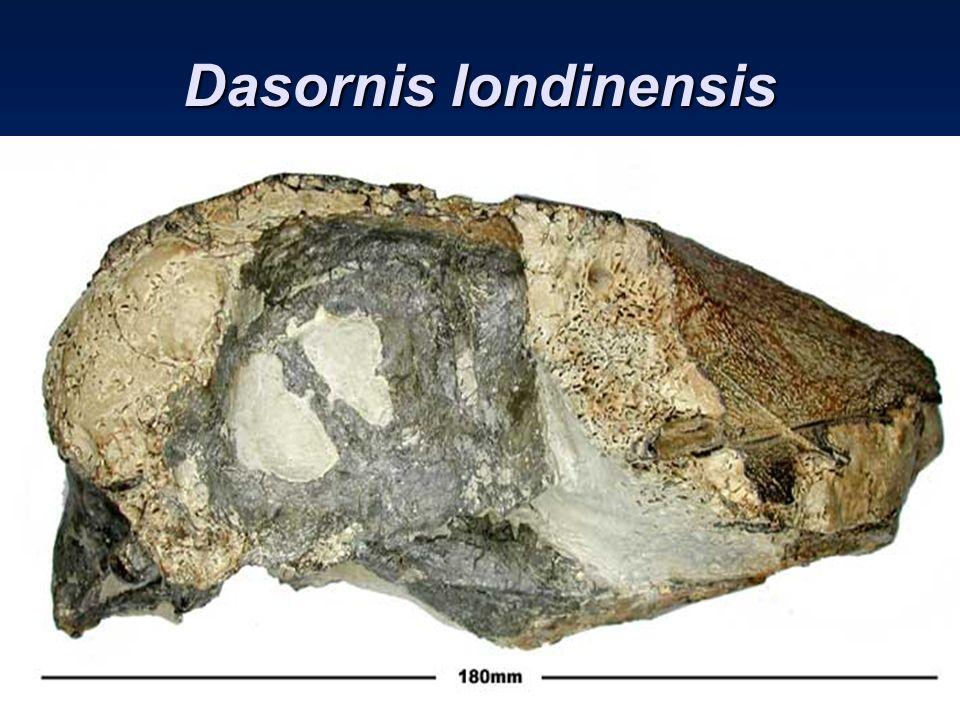 Dasornis londinensis