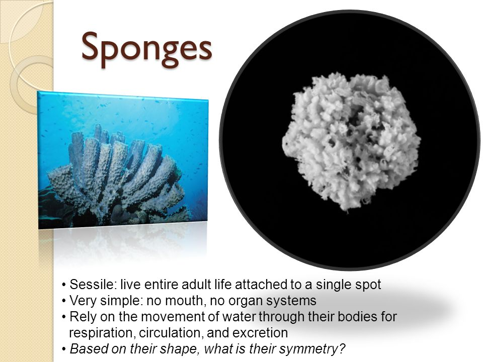 Sponges Sessile: live entire adult life attached to a single spot Very simple: no mouth, no organ systems Rely on the movement of water through their