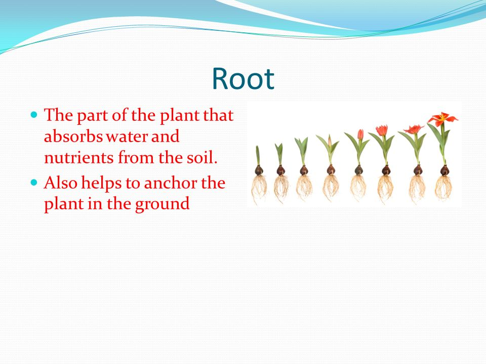 Root The part of the plant that absorbs water and nutrients from the soil. Also helps to anchor the plant in the ground