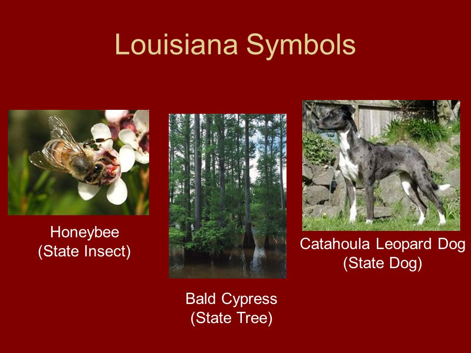 Louisiana Symbols Honeybee (State Insect) Catahoula Leopard Dog (State Dog) Bald Cypress (State Tree)