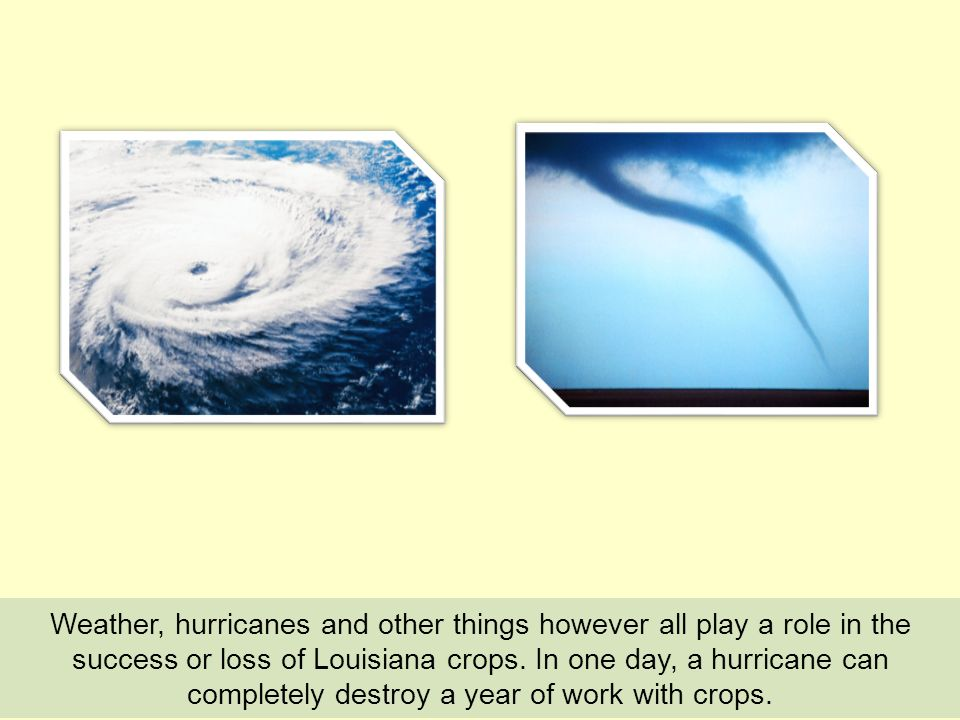 Weather, hurricanes and other things however all play a role in the success or loss of Louisiana crops. In one day, a hurricane can completely destroy