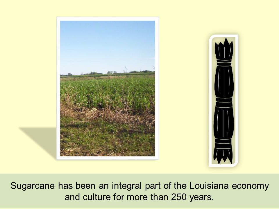 Sugarcane has been an integral part of the Louisiana economy and culture for more than 250 years.