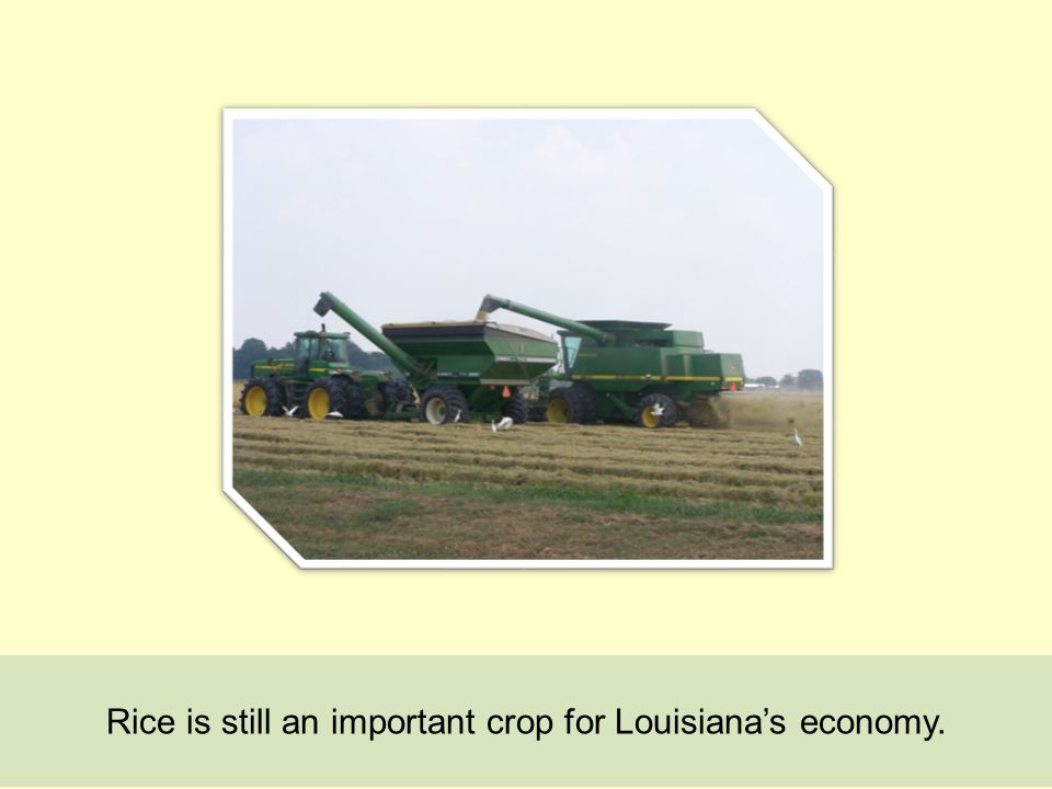 Rice is still an important crop for Louisianas economy.