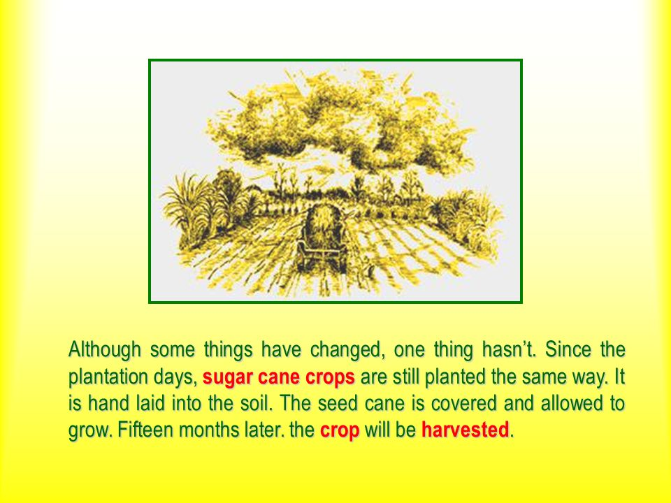 Although some things have changed, one thing hasnt. Since the plantation days, sugar cane crops are still planted the same way. It is hand laid into t