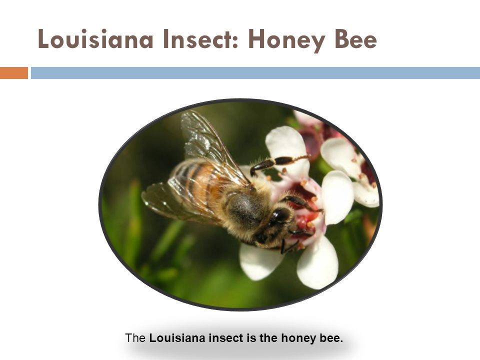Louisiana Insect: Honey Bee The Louisiana insect is the honey bee.