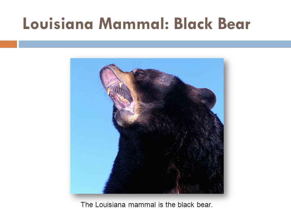 Louisiana Mammal: Black Bear The Louisiana mammal is the black bear.