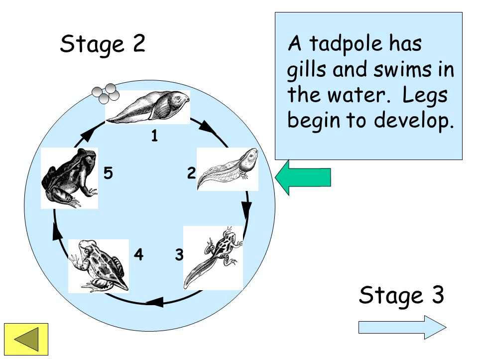 1 2 34 5 The life of a frog begins when the tadpole hatches from the egg. Stage 1 Stage 2
