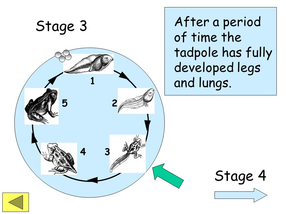 1 2 34 5 Stage 3 A tadpole has gills and swims in the water. Legs begin to develop.
