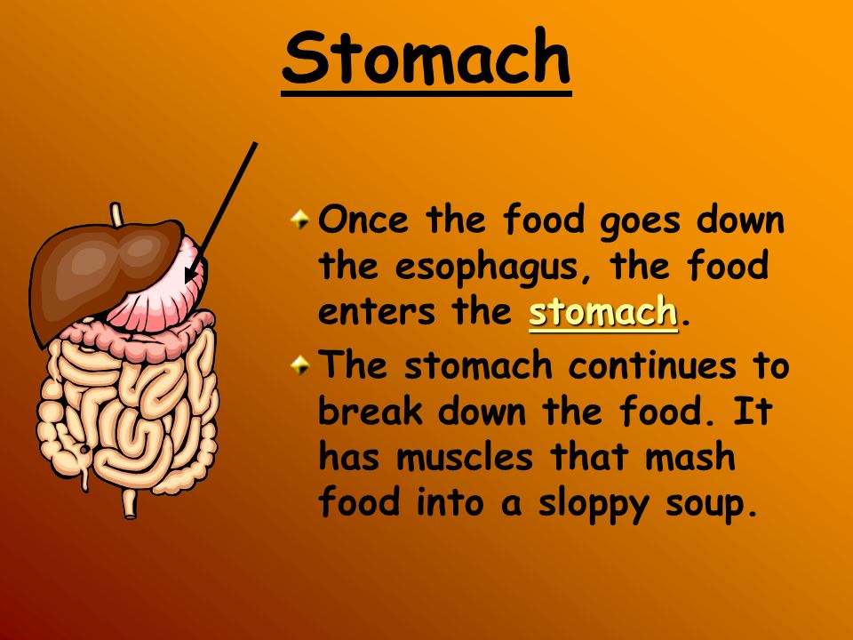 Stomach stomach Once the food goes down the esophagus, the food enters the stomach. The stomach continues to break down the food. It has muscles that