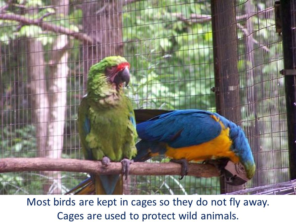 Most birds are kept in cages so they do not fly away. Cages are used to protect wild animals.