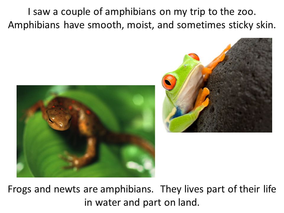 I saw a couple of amphibians on my trip to the zoo. Amphibians have smooth, moist, and sometimes sticky skin. Frogs and newts are amphibians. They liv