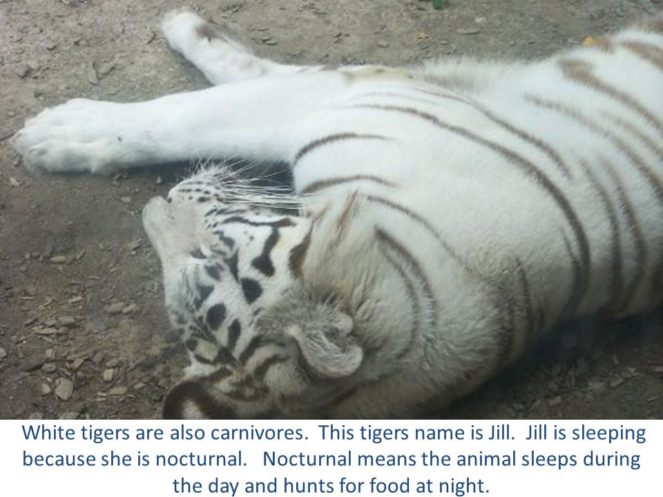 White tigers are also carnivores. This tigers name is Jill. Jill is sleeping because she is nocturnal. Nocturnal means the animal sleeps during the da