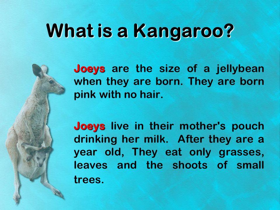 What is a Kangaroo.