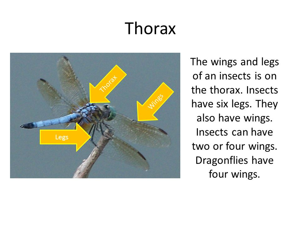 Thorax The wings and legs of an insects is on the thorax. Insects have six legs. They also have wings. Insects can have two or four wings. Dragonflies