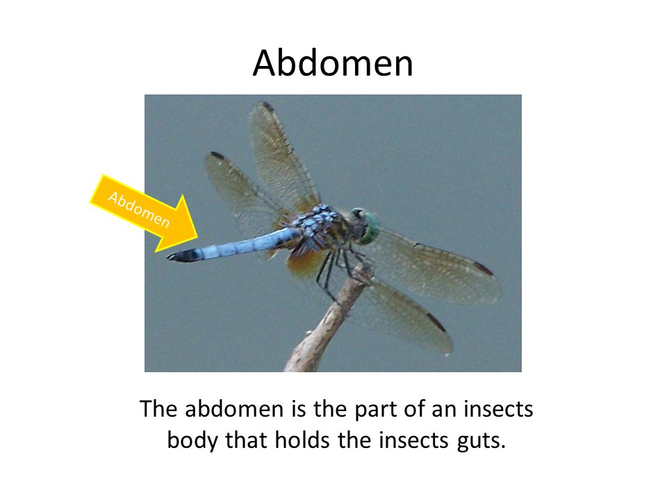 Abdomen The abdomen is the part of an insects body that holds the insects guts.