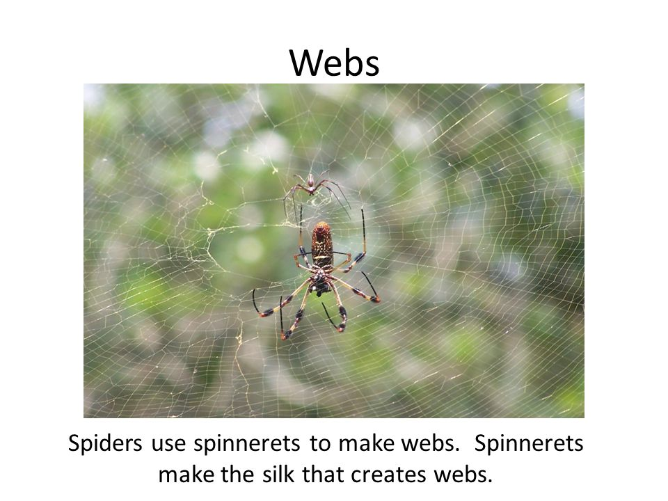 Webs Spiders use spinnerets to make webs. Spinnerets make the silk that creates webs.